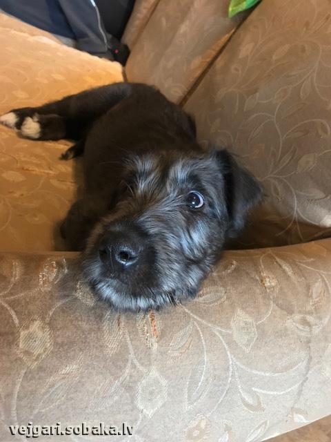 Irish wolfhound Vejgari Senorita