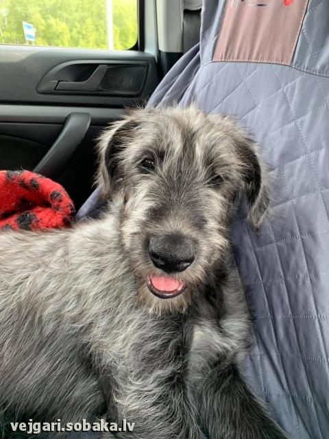 Irish wolfhound Vejgari Surprise