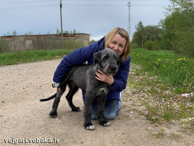 Irish wolfhound, photo 113216