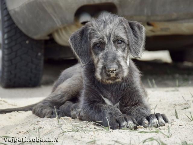 Irish wolfhound Vejgari Selene