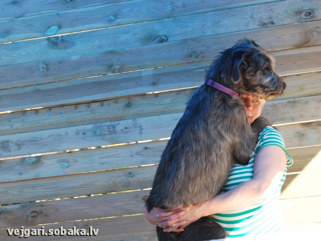 Irish wolfhound, photo 113234