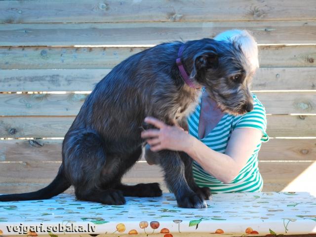 Irish wolfhound, photo 113235