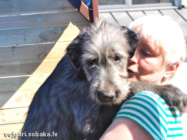 Irish wolfhound Vejgari Sapphira