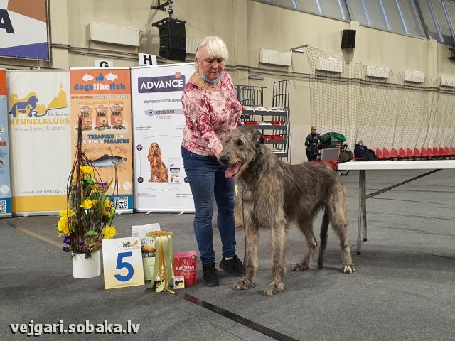Irish wolfhound, photo 113519