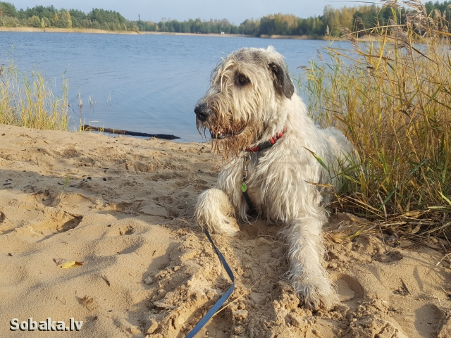 Irish wolfhound, photo 113585