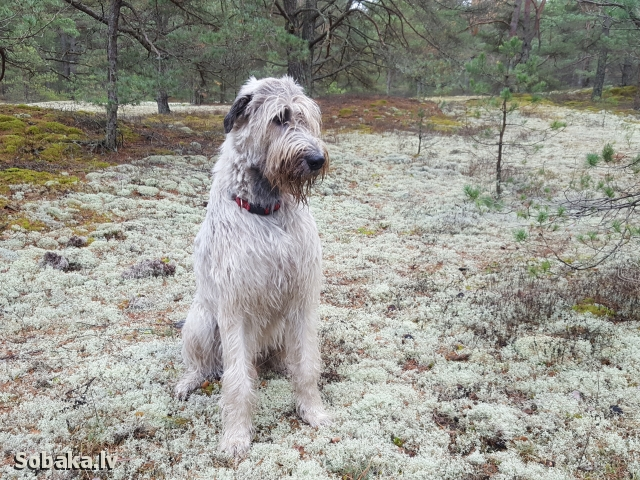 Irish wolfhound, photo 113586