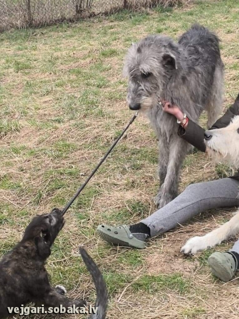 Ирландский волкодав, photo 113997