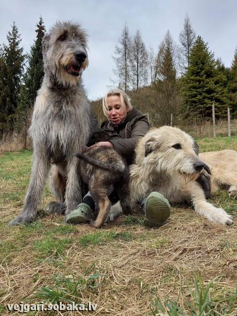 Ирландский волкодав, photo 113998