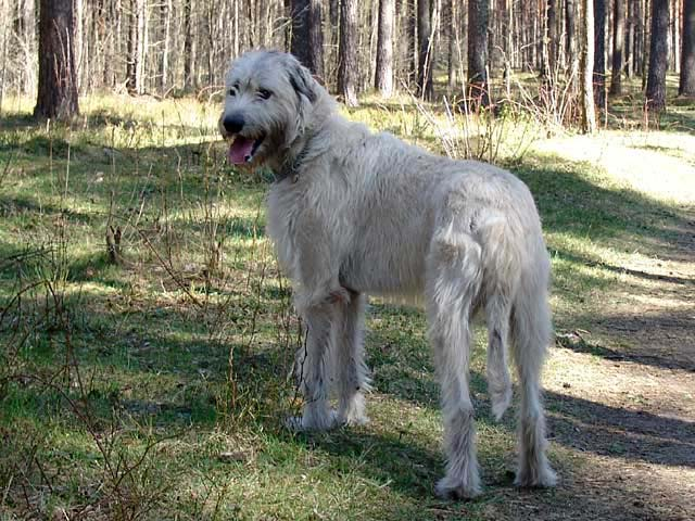 породы собаки волкодав фото