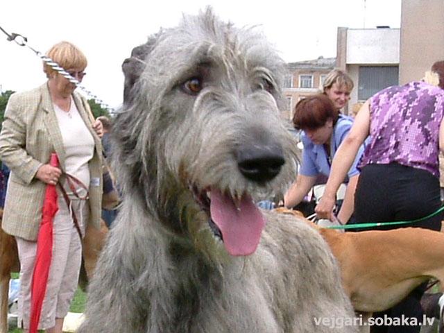 Irish wolfhound Vejgari Erythema