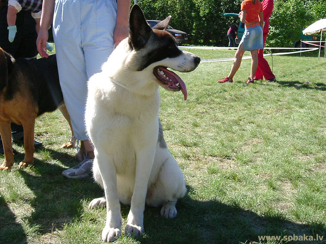 Большая японская собака (Great Japanese Dog, American Akita) 