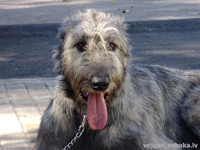 Irish wolfhound Vejgari Forkij