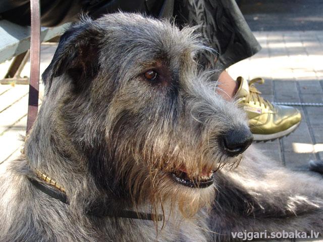 Irish wolfhound Vejgari Freija