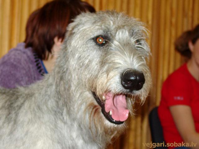 Irish wolfhound Vejgari Elata