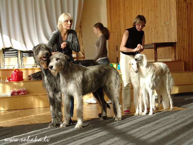Ирландские волкодавы - общий фотоальбом Лата и Феб участвуют в конкурсе пар (заняли второе место) Питомник ВЕЙГАРИ