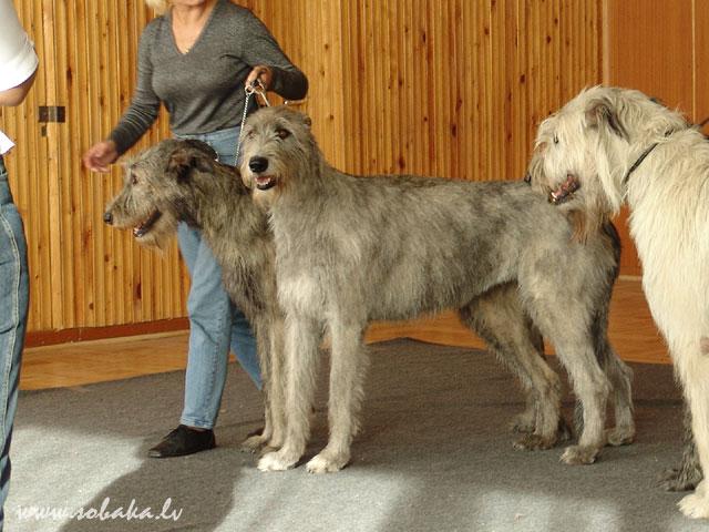 Irish wolfhounds Спец. выставка борзых в Риге. 24.04.2005 Kennel VEJGARI