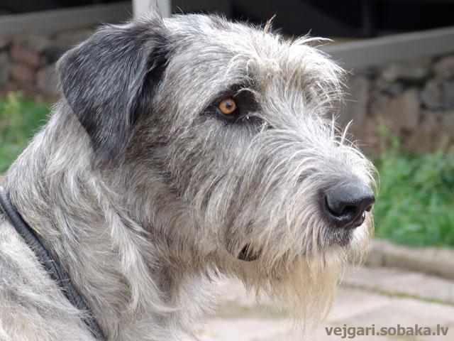 Irish wolfhound Vejgari Edjusha
