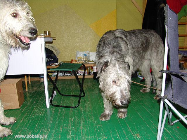 Ирландские волкодавы - общий фотоальбом Кроха и Экви Питомник ВЕЙГАРИ