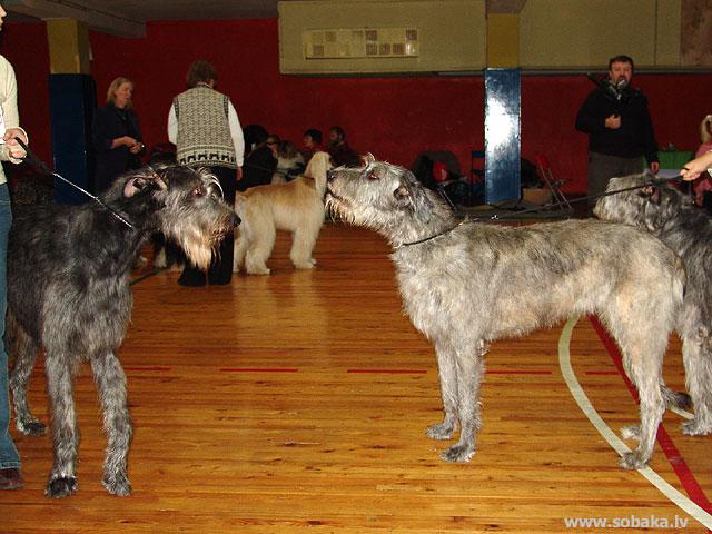 Ирландские волкодавы - общий фотоальбом Феб и Дюша Питомник ВЕЙГАРИ