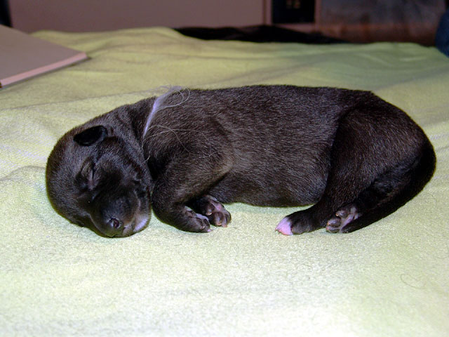 Irish wolfhounds puppies VEJGARI H... № 6 - Vejgari HARINGS Kennel VEJGARI
