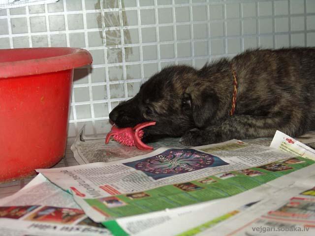 Irish wolfhounds puppies VEJGARI H... № 8 - Vejgari HONEY Kennel VEJGARI