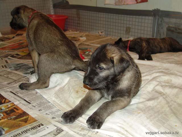 Irish wolfhounds puppies VEJGARI H... № 10 - Vejgari HIT Kennel VEJGARI