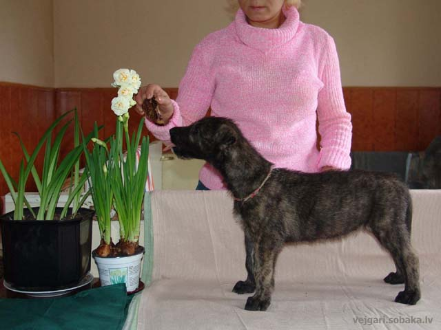 Irish wolfhounds puppies VEJGARI H... № 11 Kennel VEJGARI