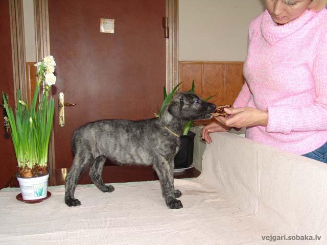 Irish wolfhounds puppies VEJGARI H... № 12 - Vejgari HOIGA Kennel VEJGARI