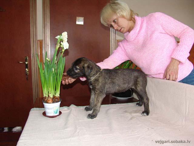 Irish wolfhounds puppies VEJGARI H... № 4 Kennel VEJGARI