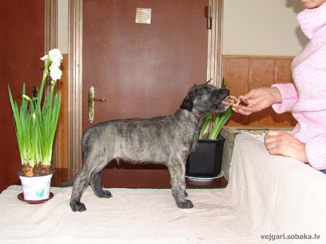 Irish wolfhounds puppies VEJGARI H... № 9 - Vejgari HOMA Kennel VEJGARI