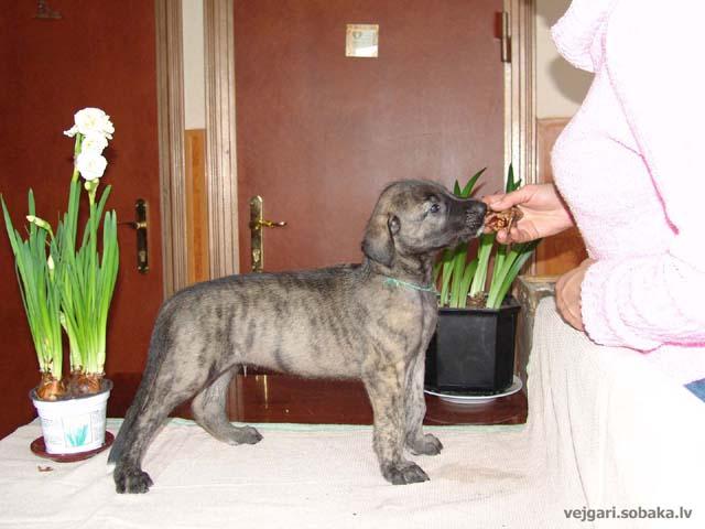 Irish wolfhounds puppies VEJGARI H... № 3 - Vejgari HOOST Kennel VEJGARI