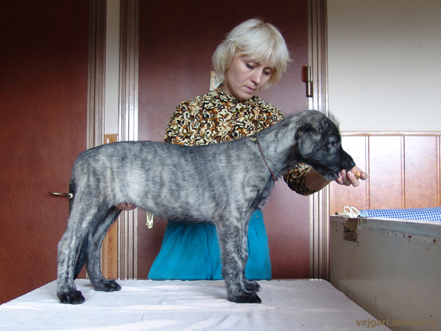 Irish wolfhound Vejgari Honey