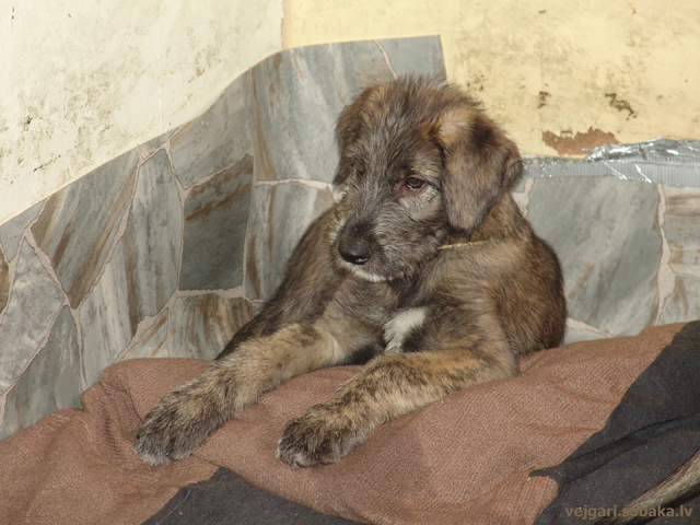 Irish wolfhound Vejgari Han Rem