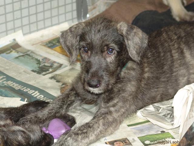 Irish wolfhound Vejgari Hilya