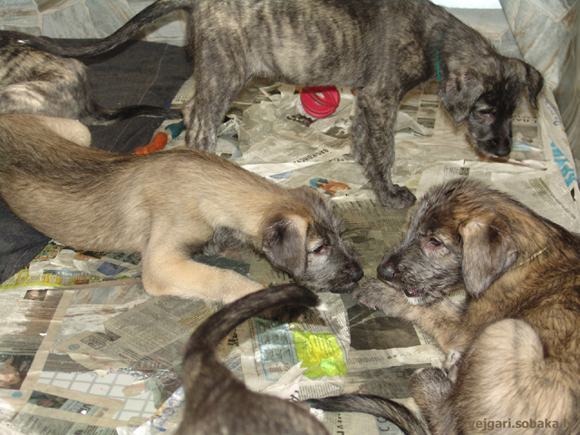 Irish wolfhounds puppies VEJGARI H...
