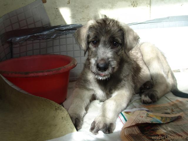 Irish wolfhounds puppies VEJGARI H...  Kennel VEJGARI