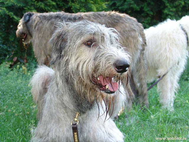 Irish wolfhound Vejgari Font