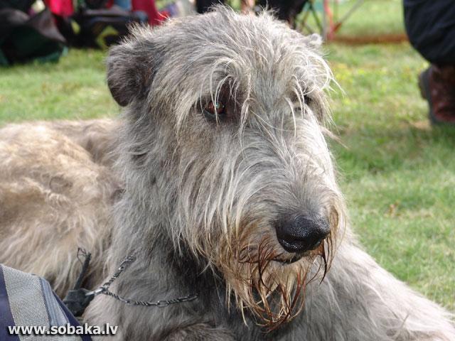 Irish wolfhound Vejgari Hoogo