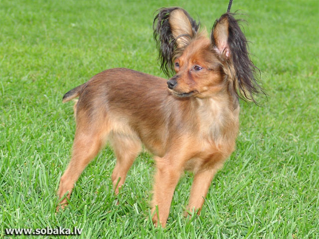 Русский той (Russian Toy Terrier)