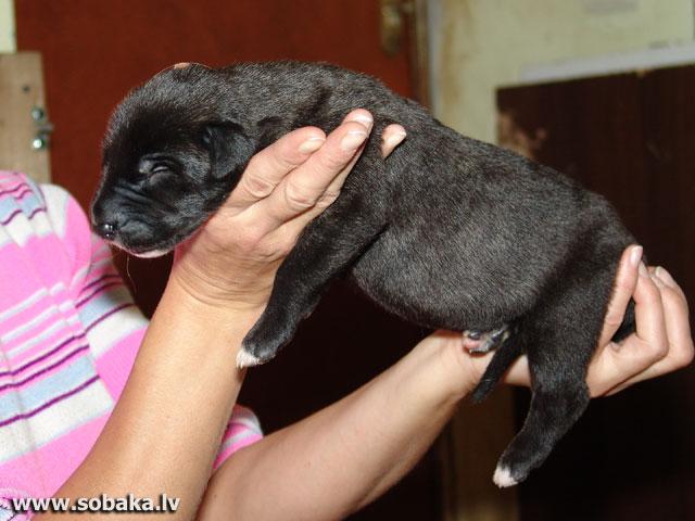 Irish wolfhounds puppies VEJGARI I... Vejgari IRISKA (7 days) Kennel VEJGARI