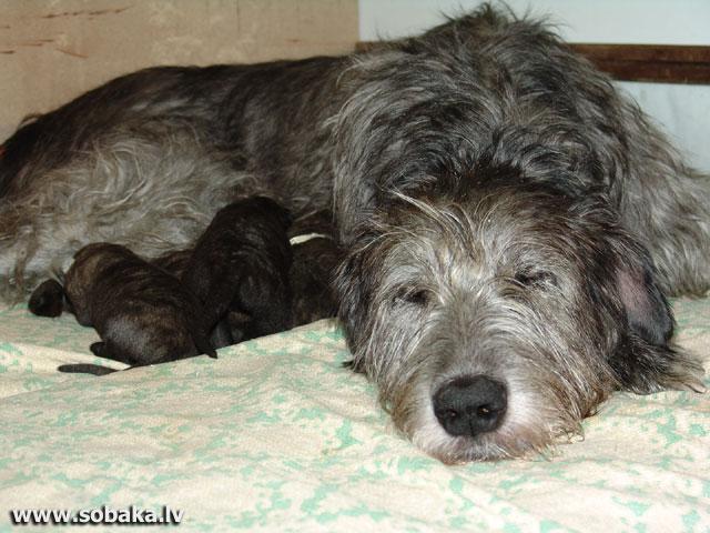 Irish wolfhounds puppies VEJGARI I... Puppies Vejgari I... (7 days) Kennel VEJGARI