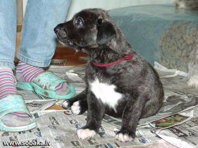 Irish wolfhounds puppies VEJGARI I... Vejgari Ilana, 1 month Kennel VEJGARI
