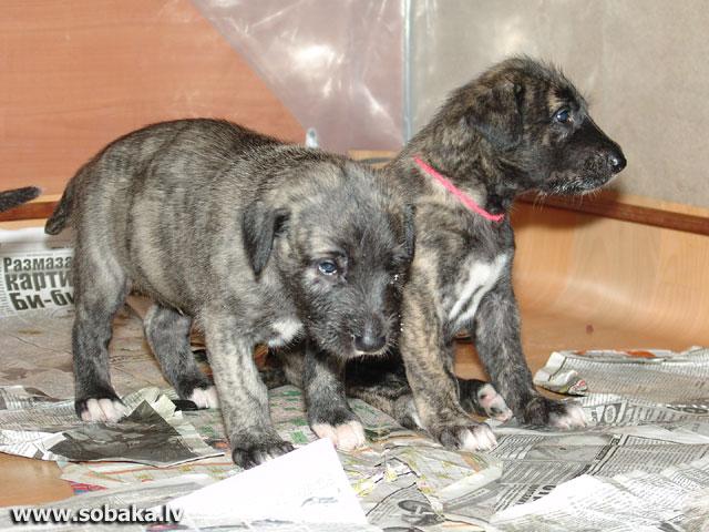 Irish wolfhounds puppies VEJGARI I... INAR and INFANTA (1 month) Kennel VEJGARI