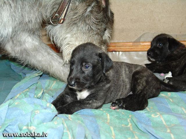 Irish wolfhounds puppies VEJGARI I... Vejgari IRISKA (1 month) Kennel VEJGARI