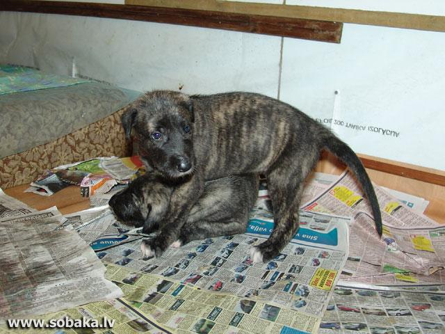 Irish wolfhounds puppies VEJGARI I... INFANTA and INAR (1 month) Kennel VEJGARI