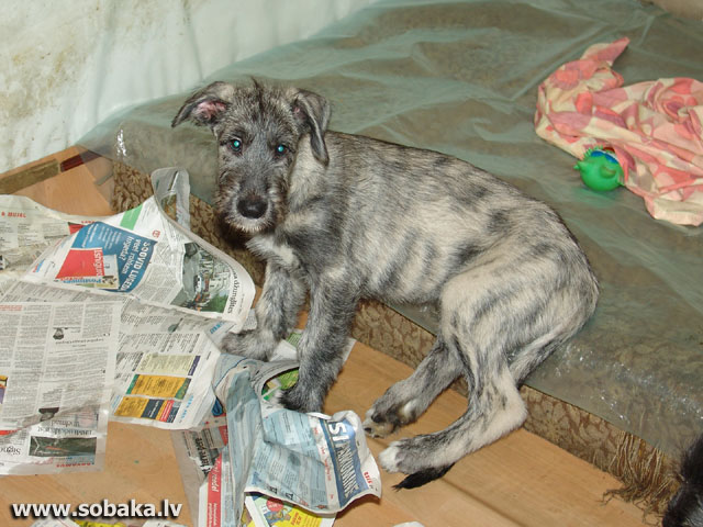 Irish wolfhounds puppies VEJGARI I...  Kennel VEJGARI