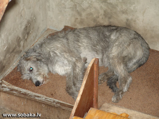 Irish wolfhounds puppies VEJGARI I...