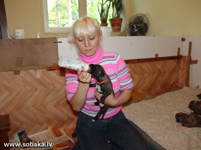 Irish wolfhounds puppies VEJGARI J... 13 days Kennel VEJGARI
