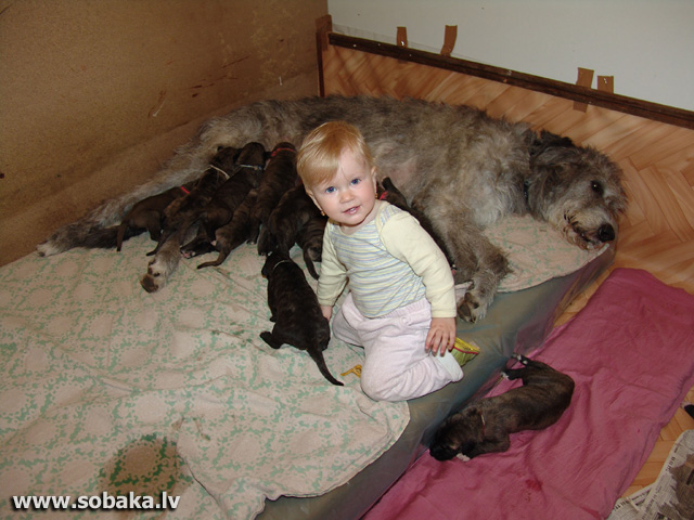 Irish wolfhounds puppies VEJGARI J...