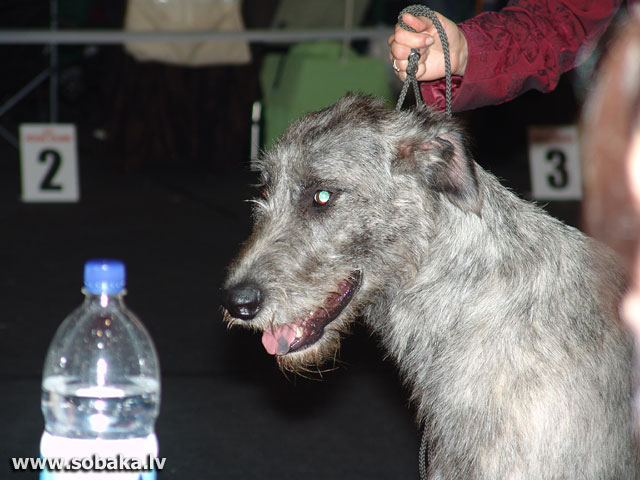 Irish wolfhound Vejgari Juliana